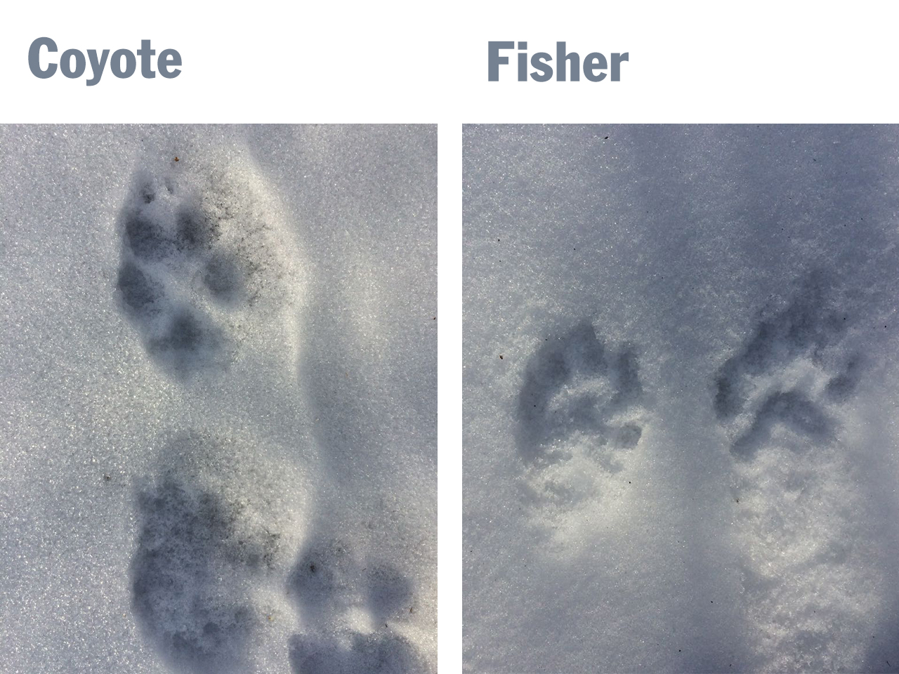 Coyote and fisher tracks