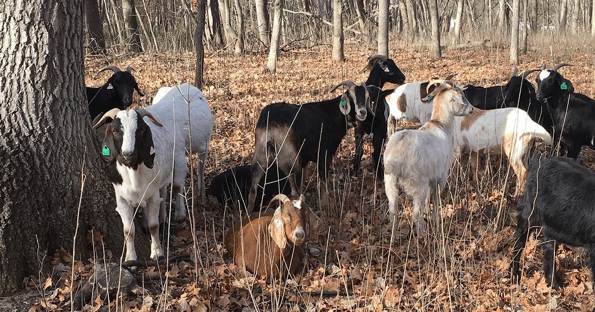 Goats gathered at Hampton Woods