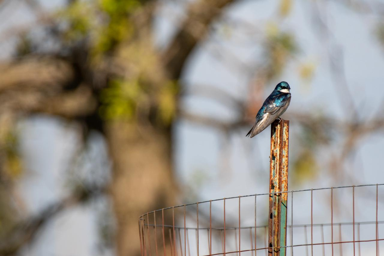 Tree swallow on a fence post