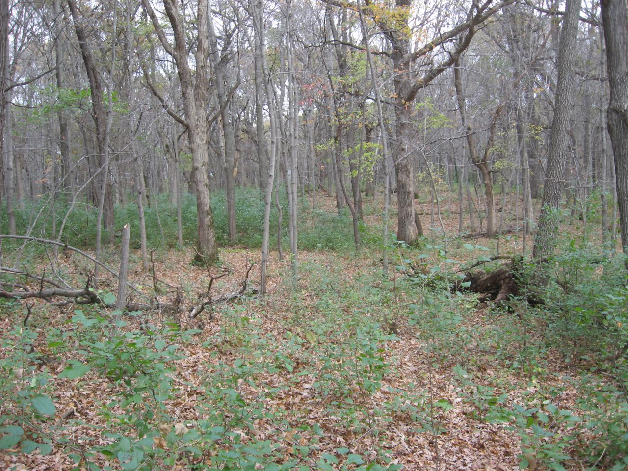 A layer of green on an otherwise gray and brown backdrop is evidence of buckthorn's distinctive phenology.