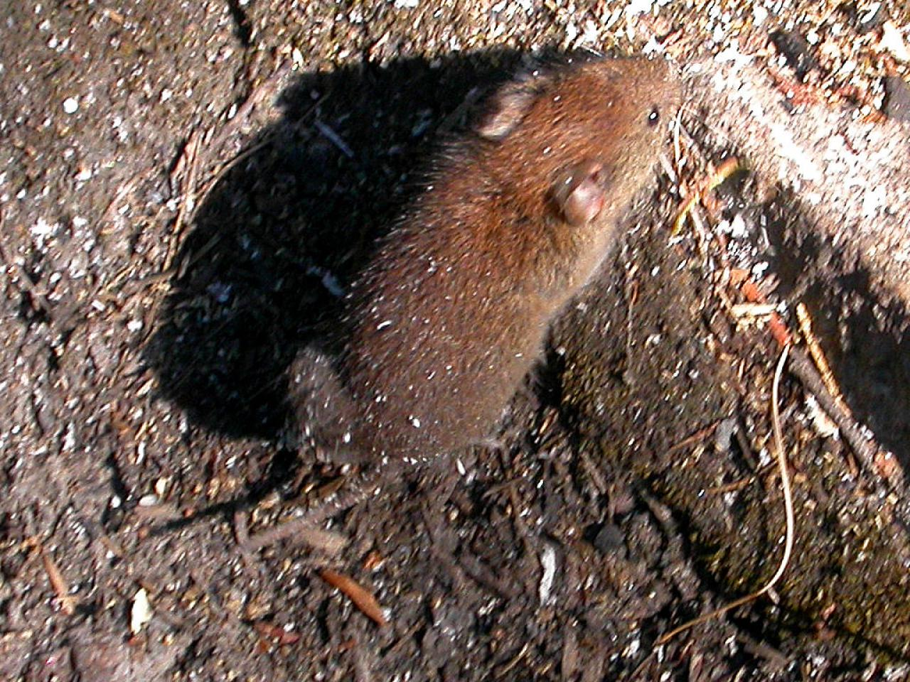 Picture of a red-backed vole