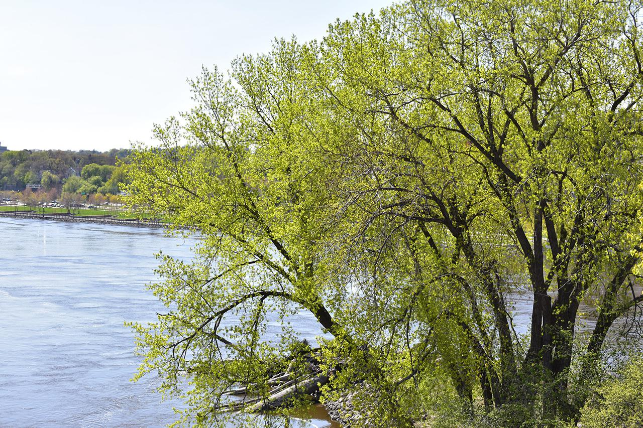 Cottonwood by the Mississippi River