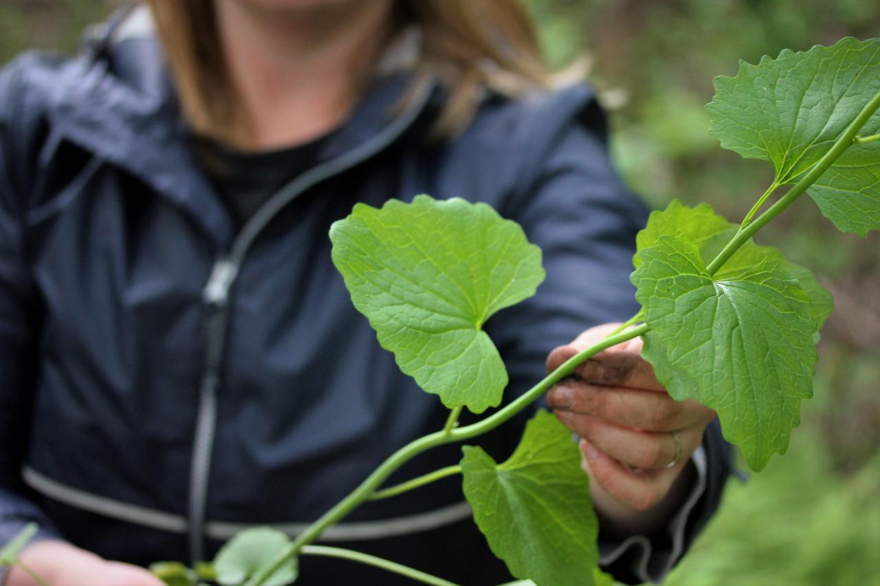 A volunteer holds up garlic mustard, one of many plants ready to be pulled this spring