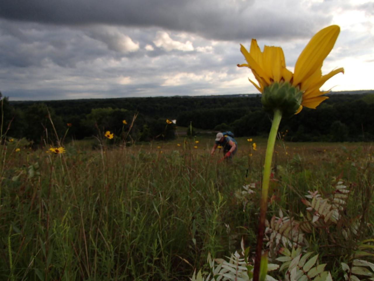 Volunteers lop sumac in the background, with a bright yellow prairie flower in the foreground.