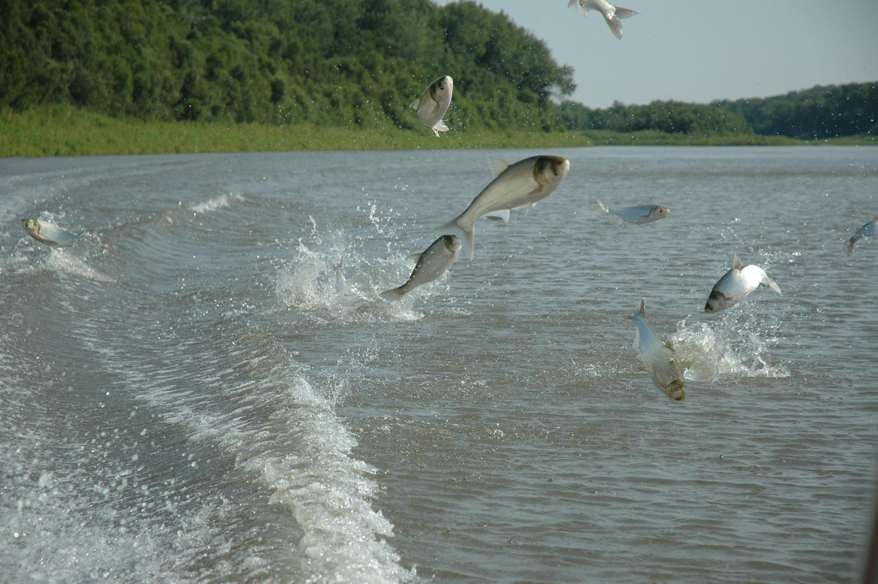 Several medium-size fish are jumping several feet high out of a lake