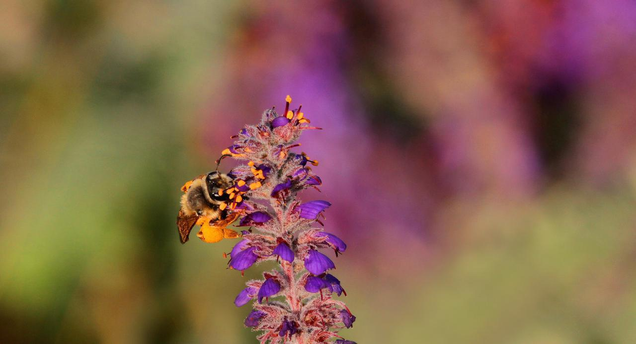 Bee collecting pollen from a leadplant prairie flower