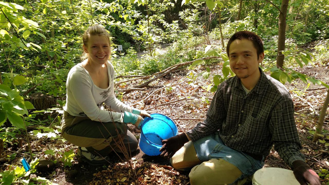 Two volunteers planting shrubs in a wooded area