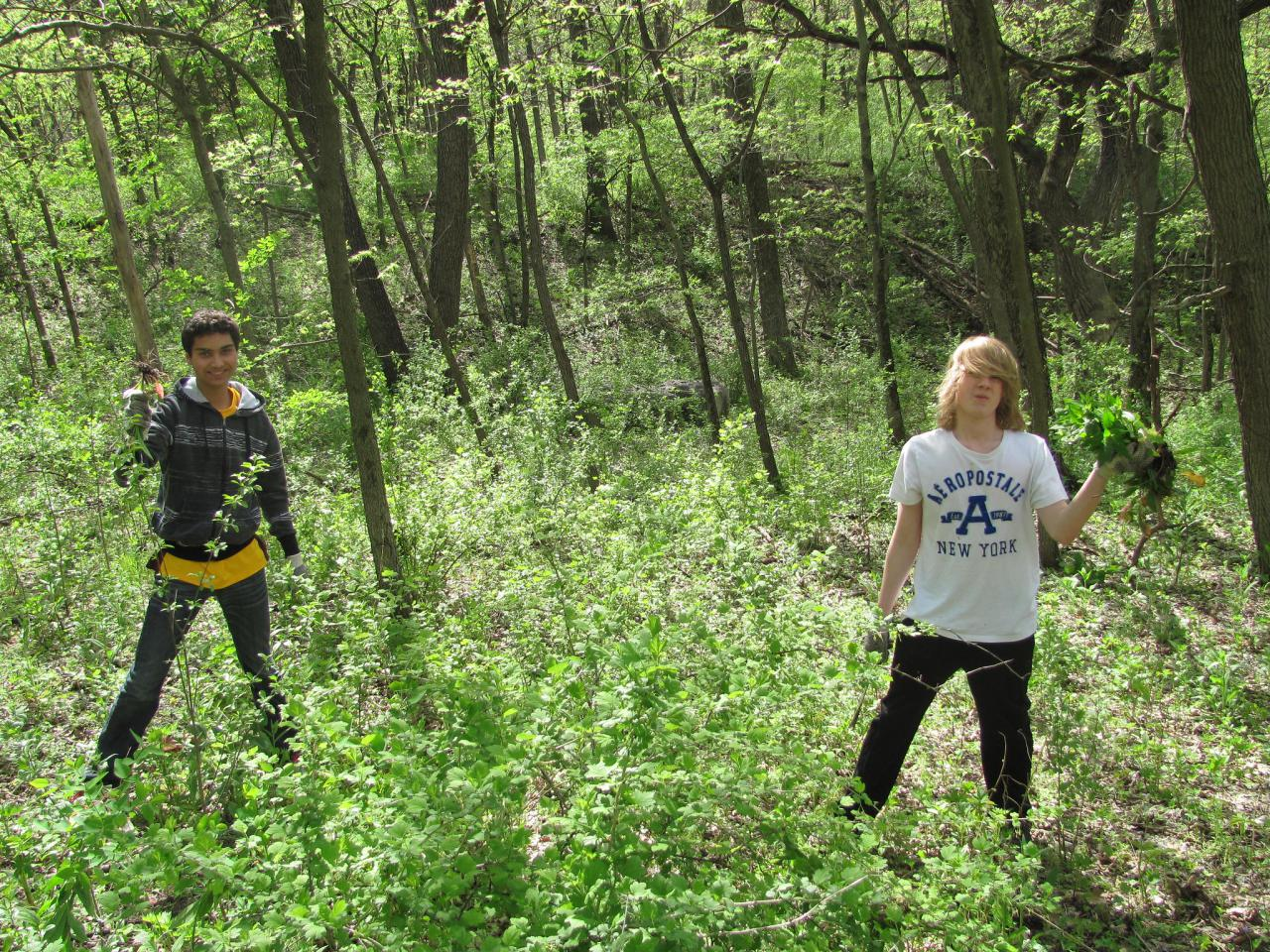 Students from Hastings High School remove invasives at Weiss Woods