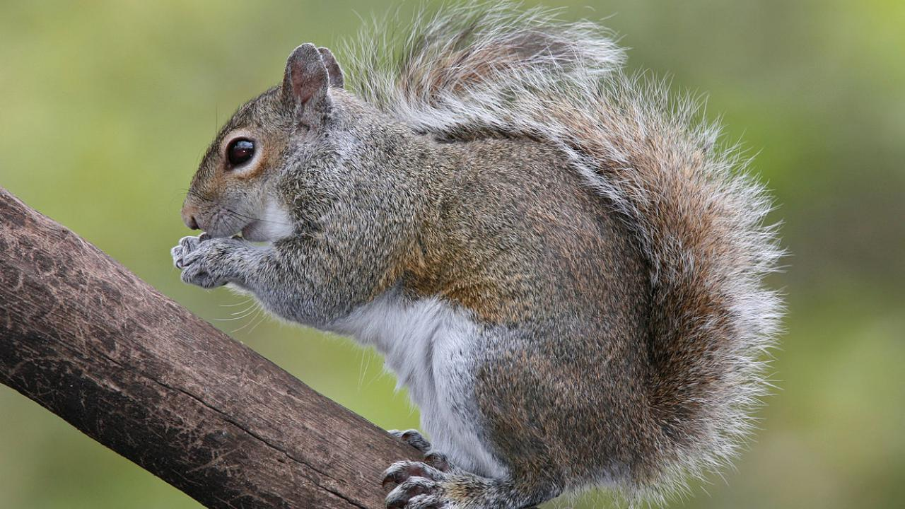 Gray squirrel feeding on a tree branch