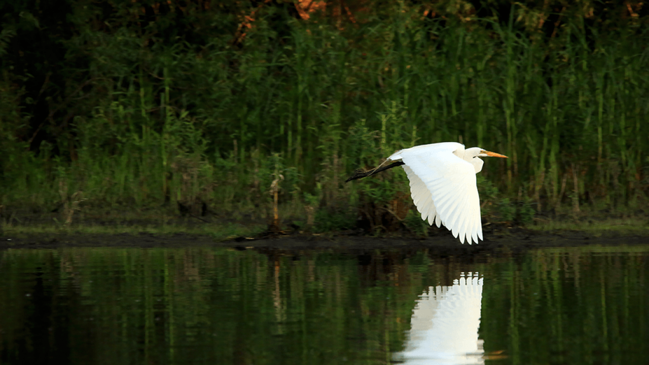 Egret flying over river