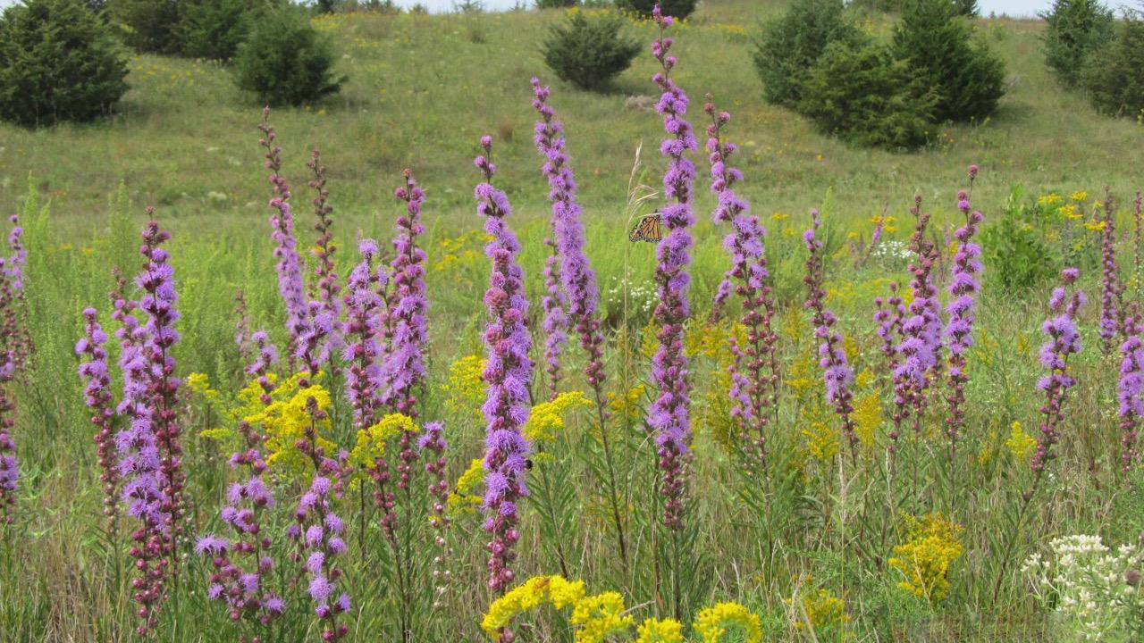 Blazing star with monarch at Hastings Sand Coulee SNA