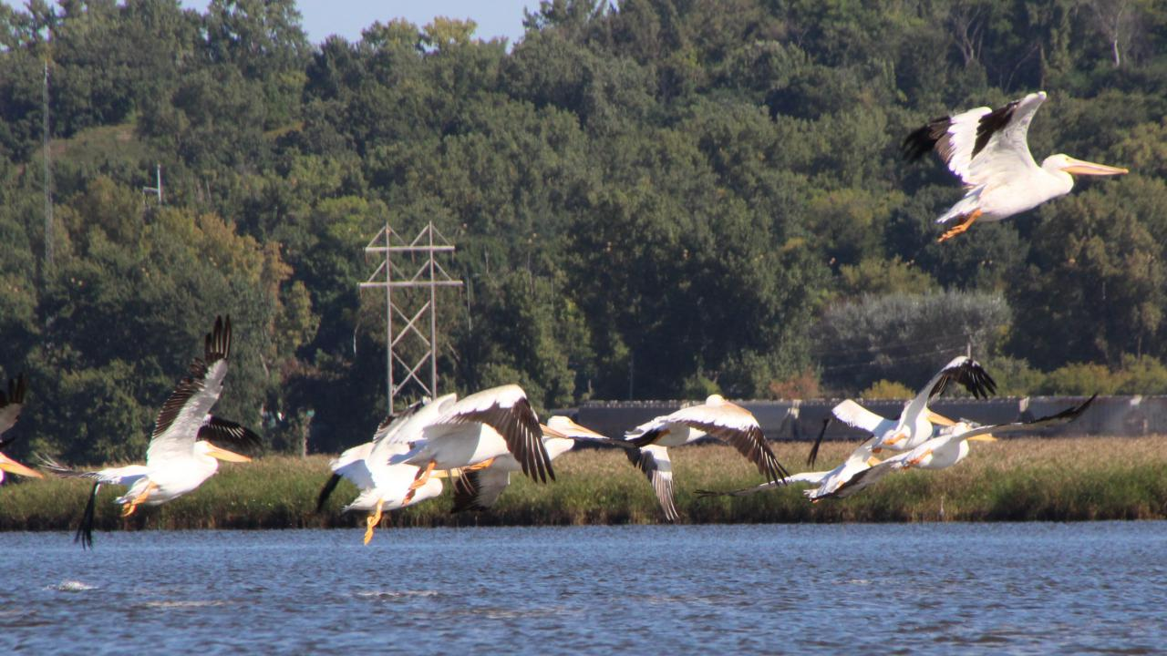 Pelicans fly up from Pig's Eye Lake