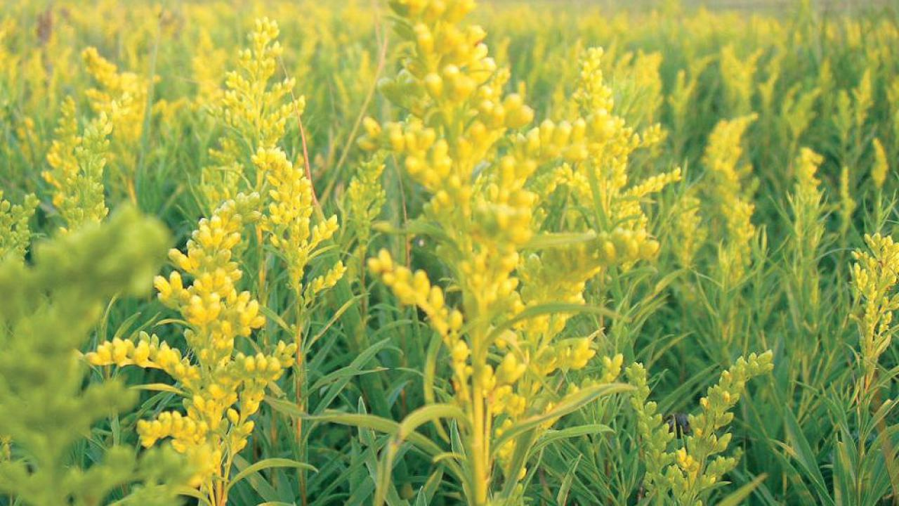 A field of showy golden flowers is a common site in late summer, but is goldenrod to blame for our allergies?