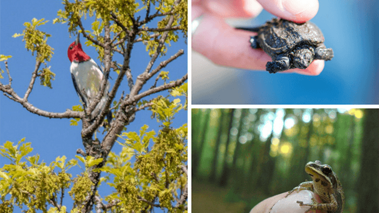 Red-headed woodpecker, baby snapping turtle, chorus frog