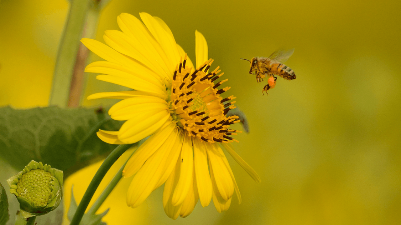 Silphium and bee